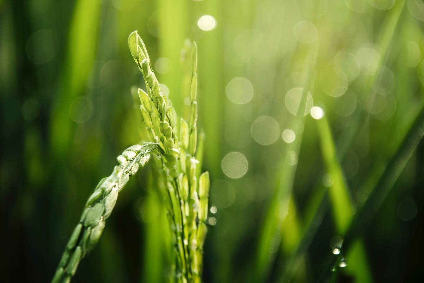 Olam calls for urgent international cooperation to reduce major greenhouse gas footprint of rice production