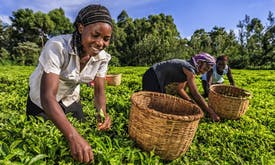 Kenyan tea is under threat due to climate change