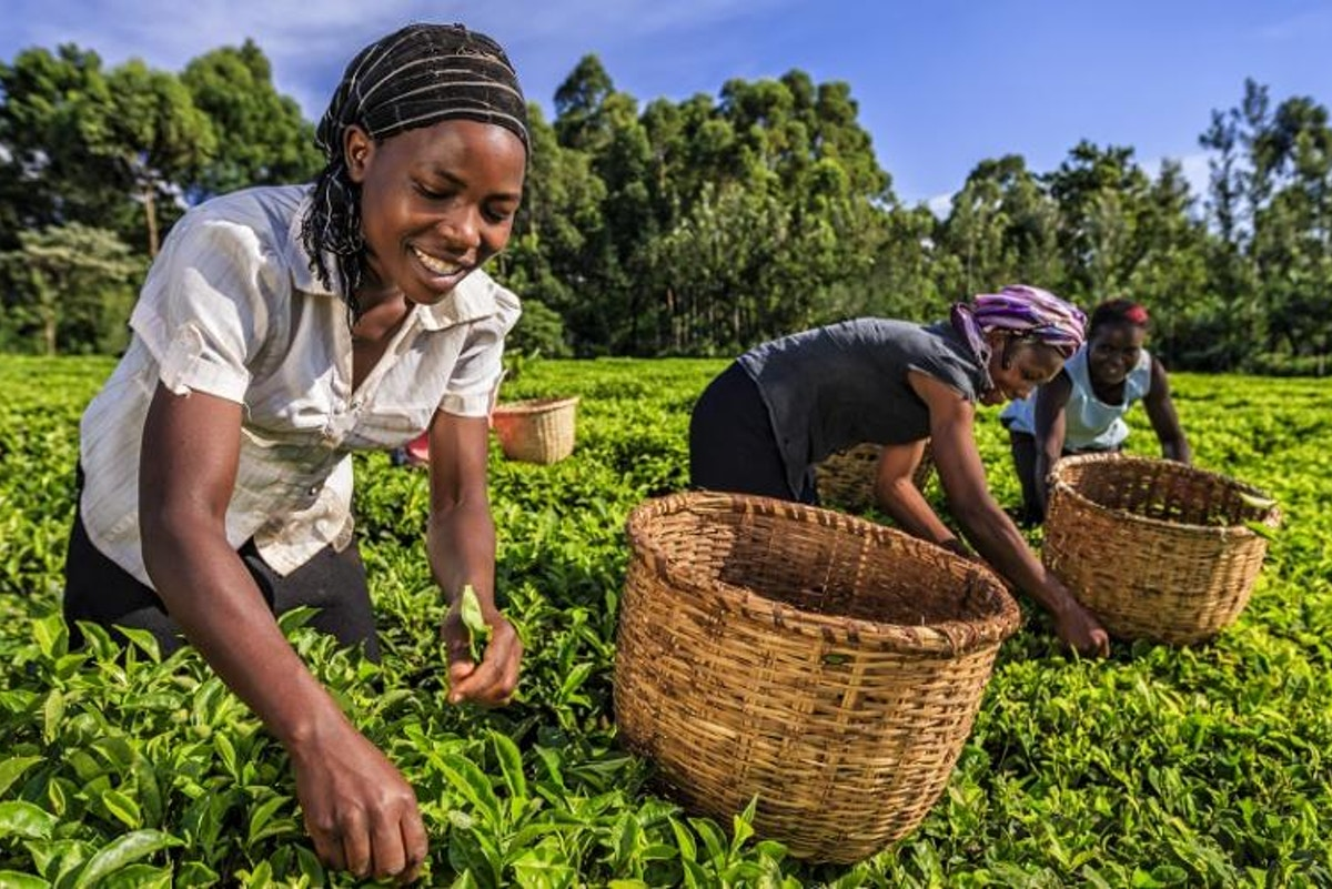 Kenyan tea is under threat due to climate change - Eco-Business