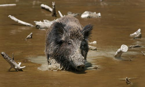 Rotting feral pig carcasses teach scientists what happens when tonnes of animals die all at once, as in Australia's bushfires