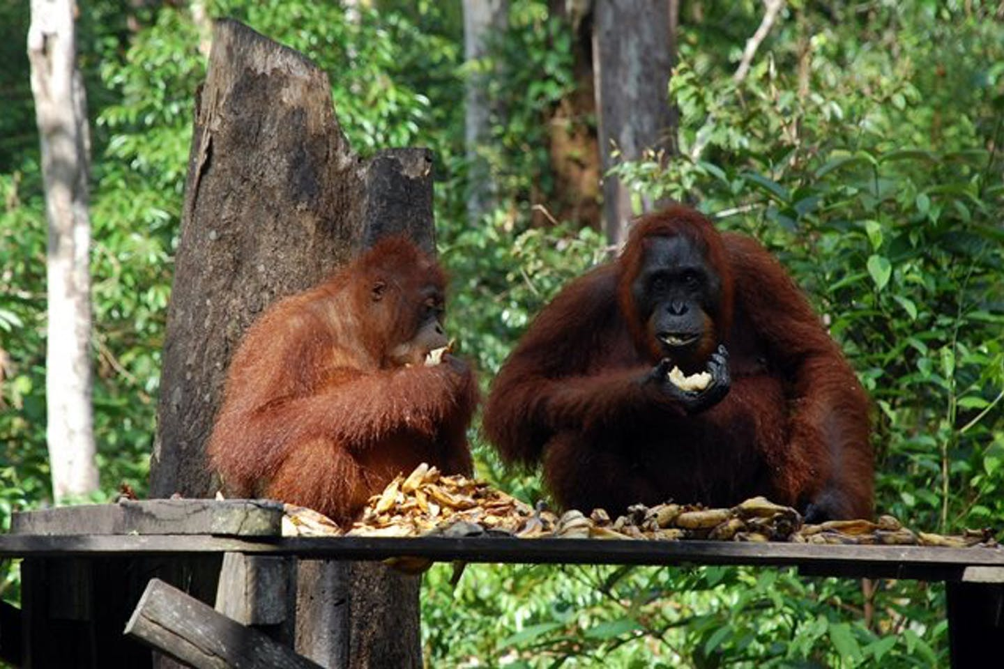 orangutans eating kalimantan indonesia