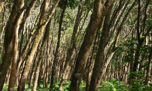 Drought, deluge, disease: How should the natural rubber industry respond to climate change?