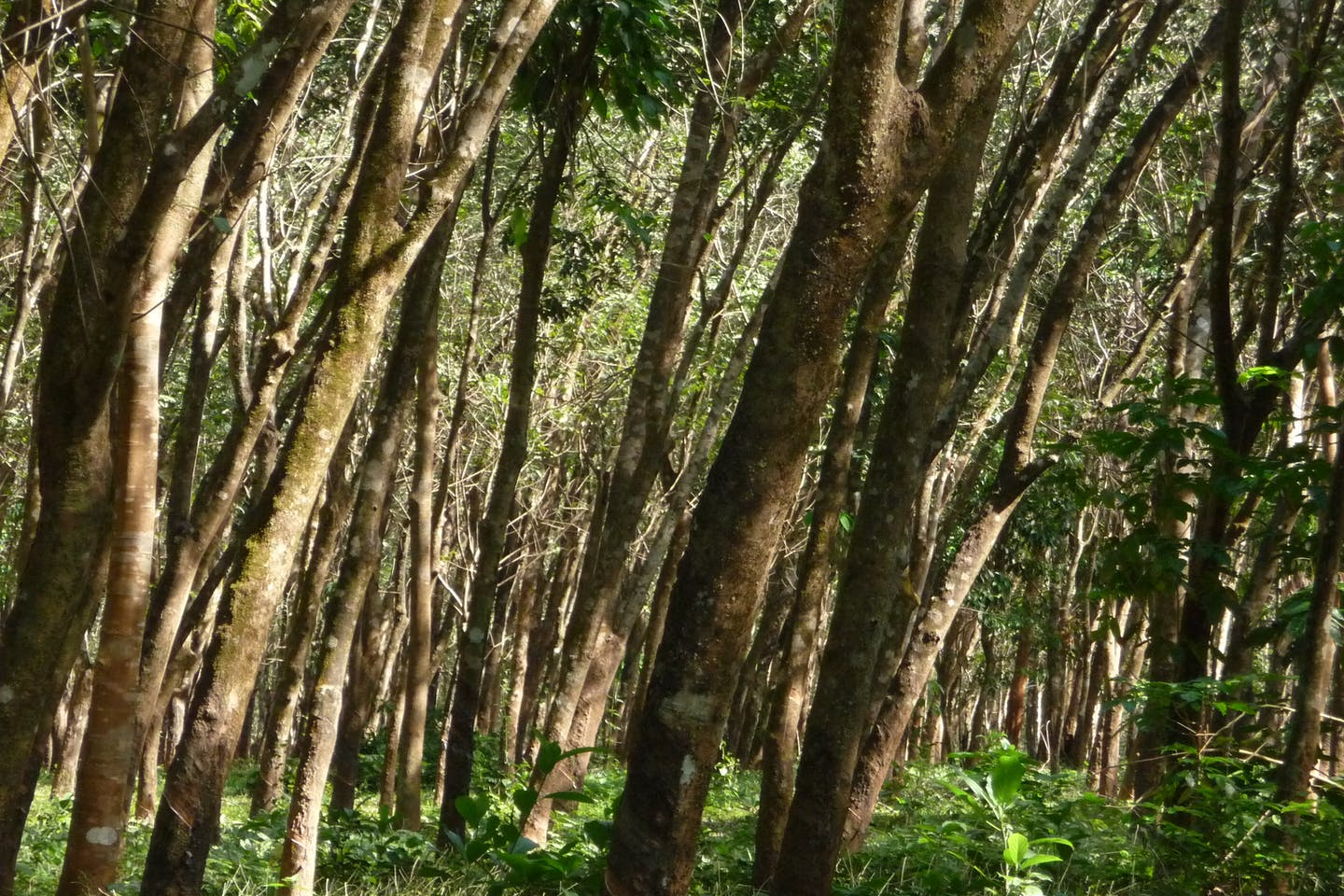 Rubber trees undergrowth