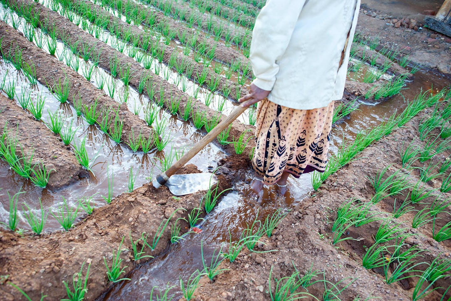 Irrigated crops India