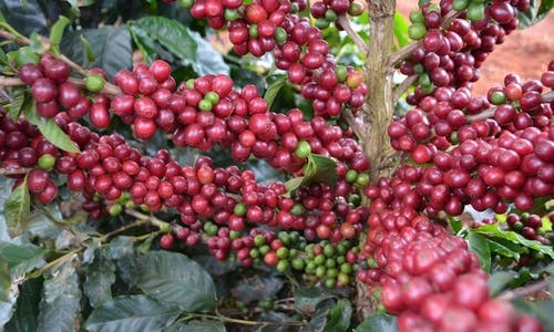 How a coffee grower and NGO are fighting deforestation in Sumatra