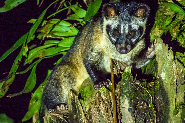 Asian Palm Civet in Borneo, Malaysia