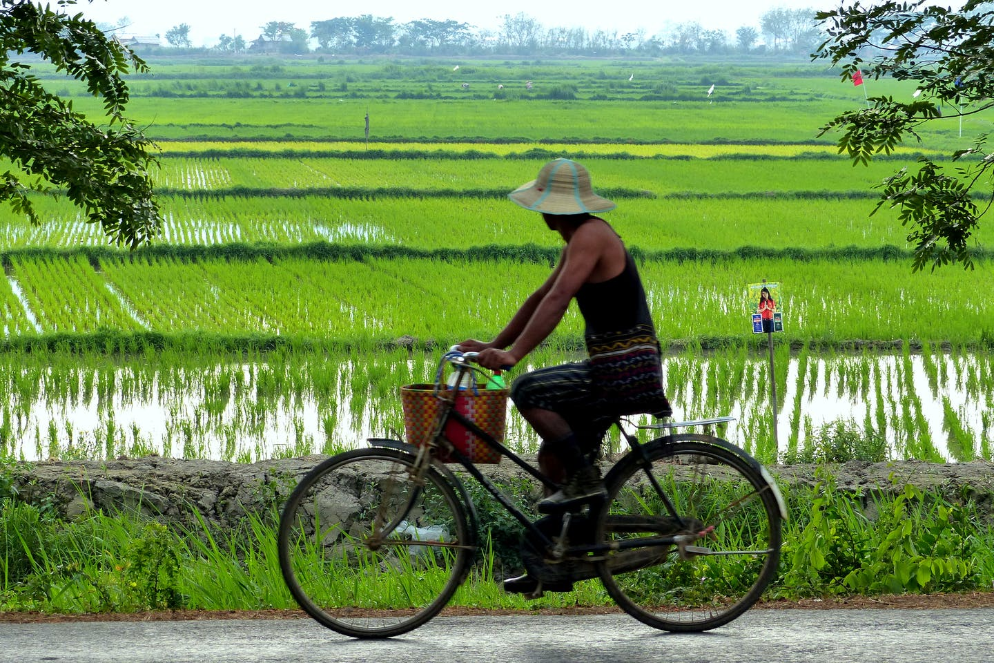 cycling past rice fields myanmar