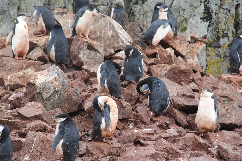 Gento penguins in Antartica