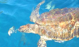 Sea turtles might be eating plastic because it smells like food—study