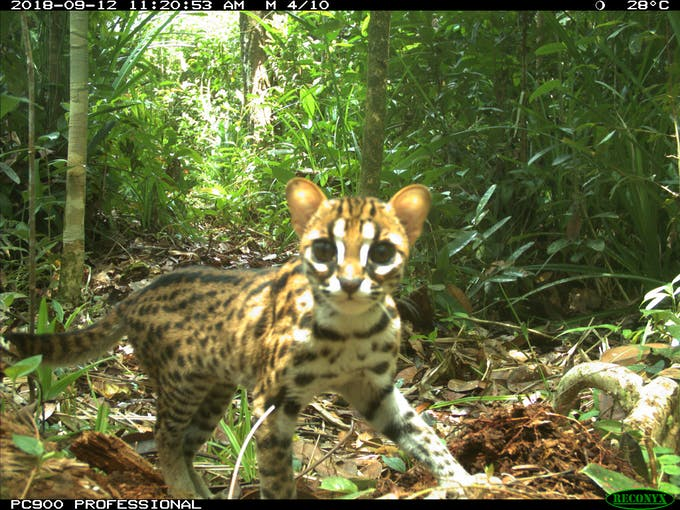 Cat triggers a camera trap in the forests of Riau, Indonesia