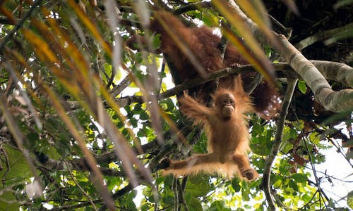 Pan Borneo Highway development endangers Borneo forests