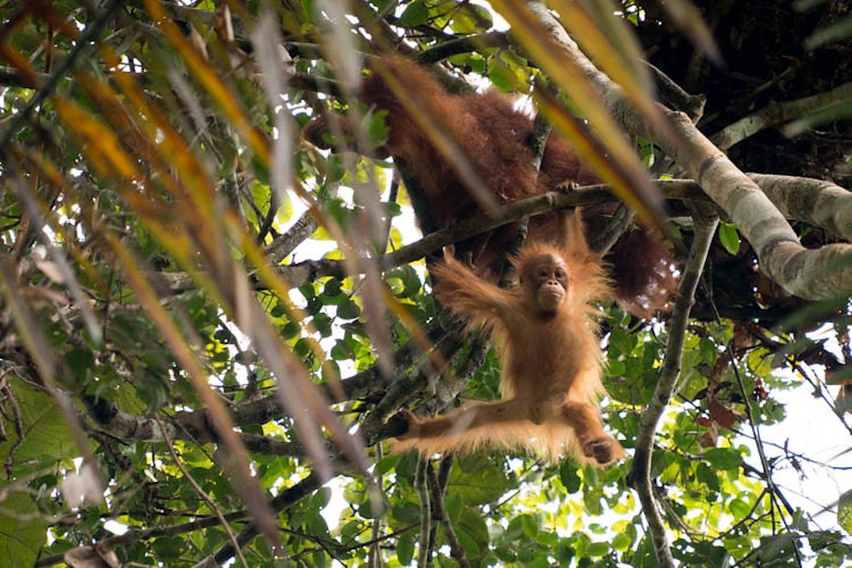 orangutan borneo2