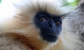 Golden langurs killed by people, roads and power lines in Bhutan