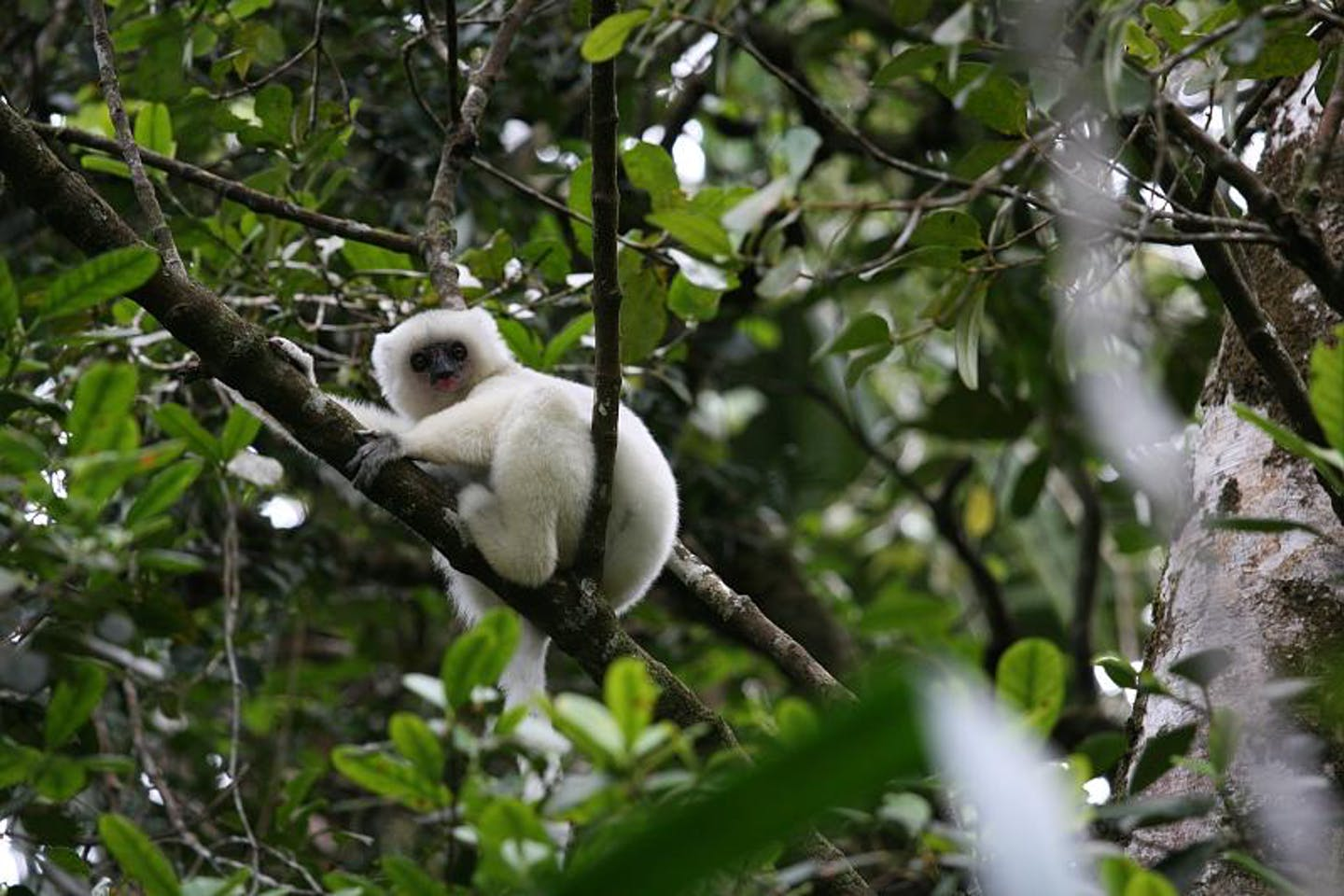 silky sifaka, found in Madagascar