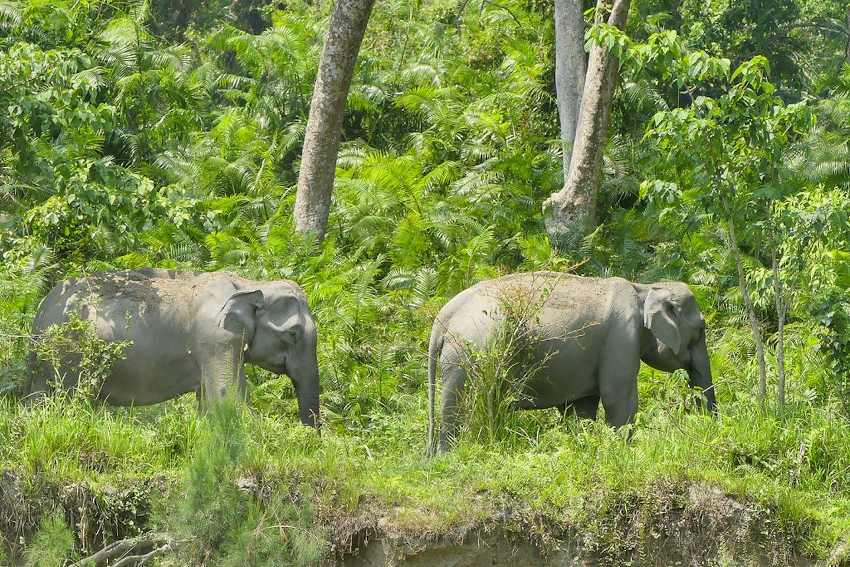 Elephants in northeast India