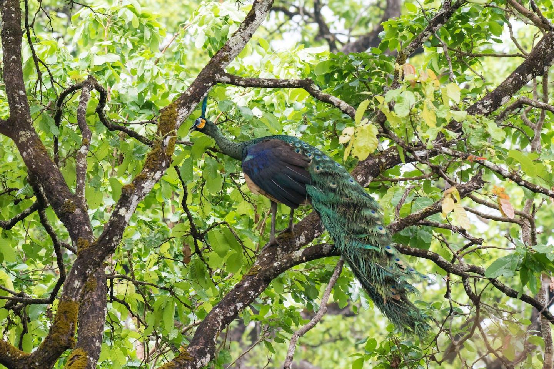 Green peafowl at the Keo Seima Wildlife Sanctuary Cambodia