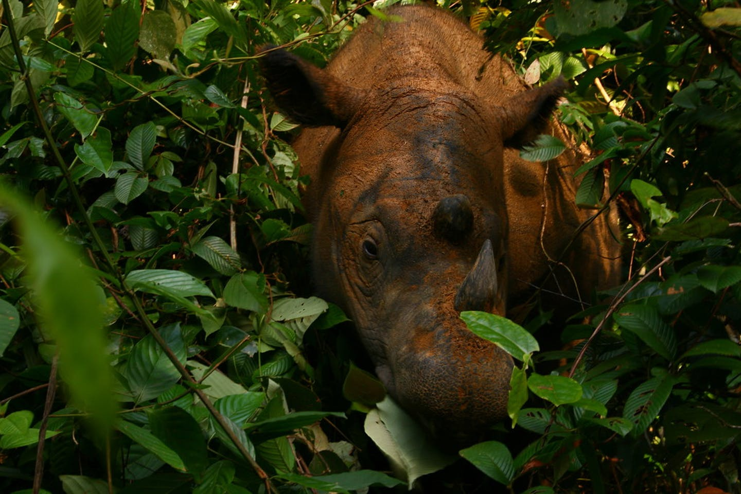 Sumatran rhino at the Way Kambas sanctuary in southern Sumatra, Indonesia