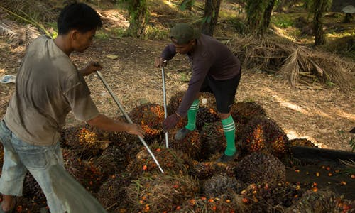 Palm oil: Import bans pressure sustainability standards