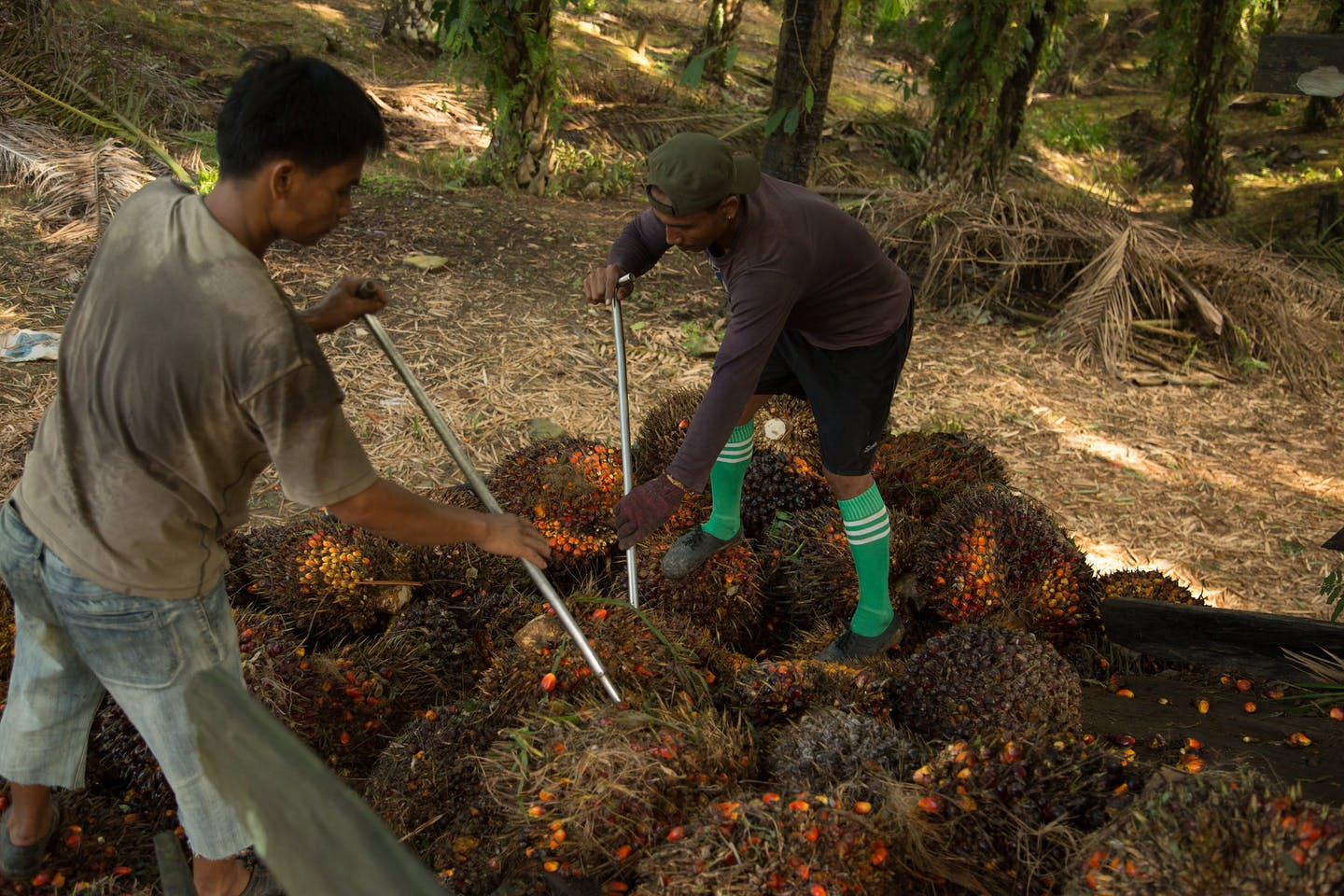 workers loading oil palm fruits