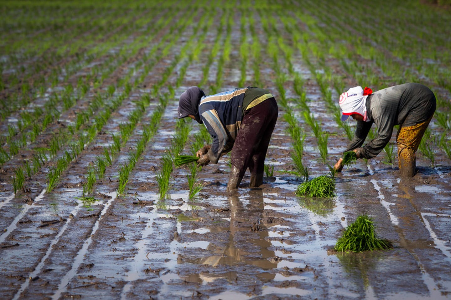 farmers planting rice indonesia