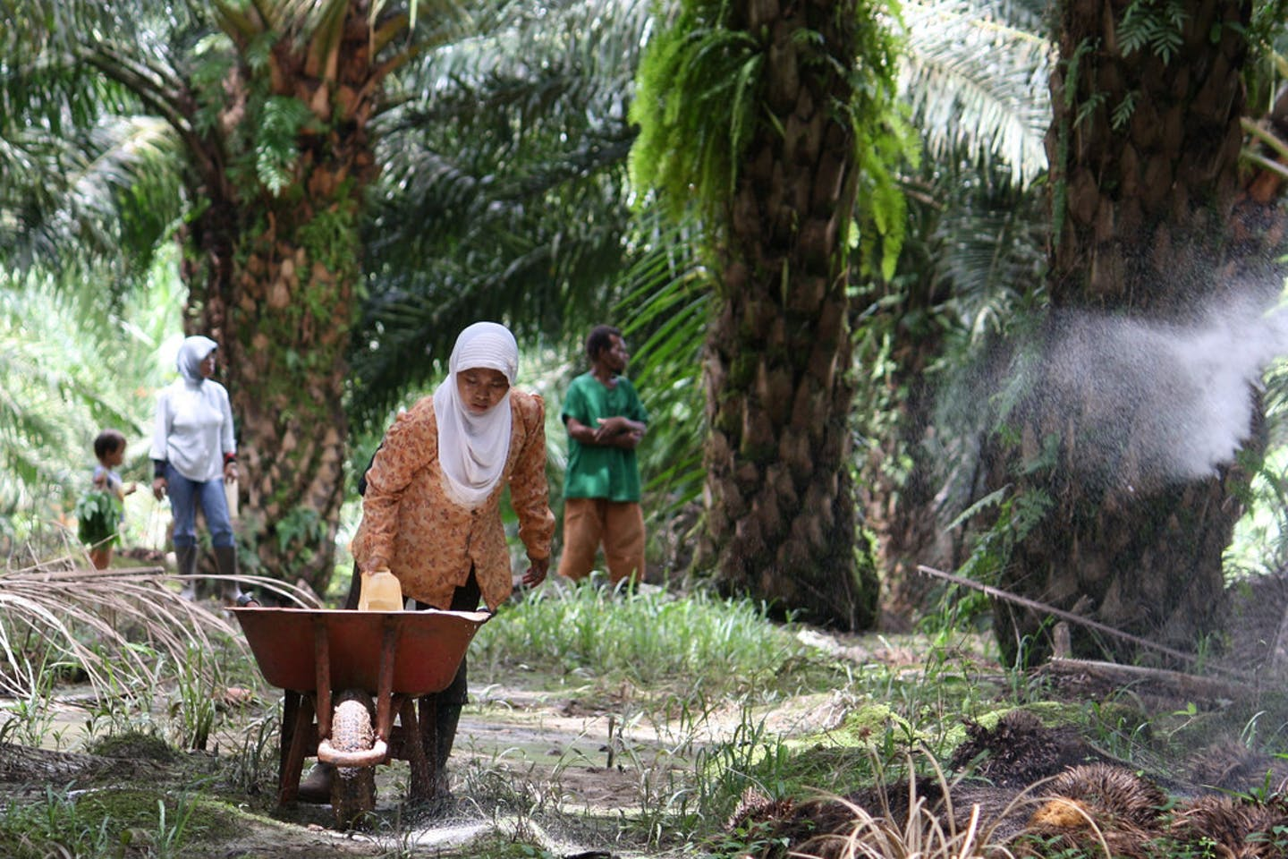 Workers fertilising on an oil palm plantation in Papua, Indonesia