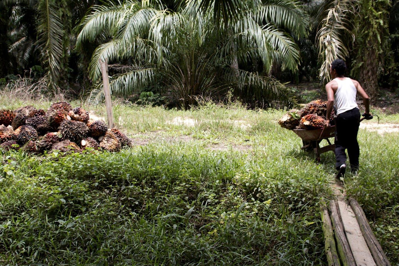 oil palm harvester in Kalimantan Barat, Indonesia