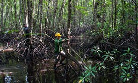 Mangrove restoration scales up in Indonesia