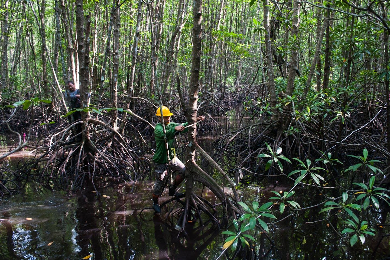 measuring mangroves indonesia