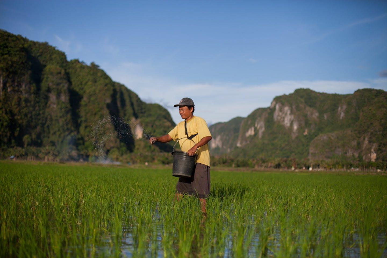 A farmer spreads fertiliser in Pangkep, South Sulawesi, Indonesia.