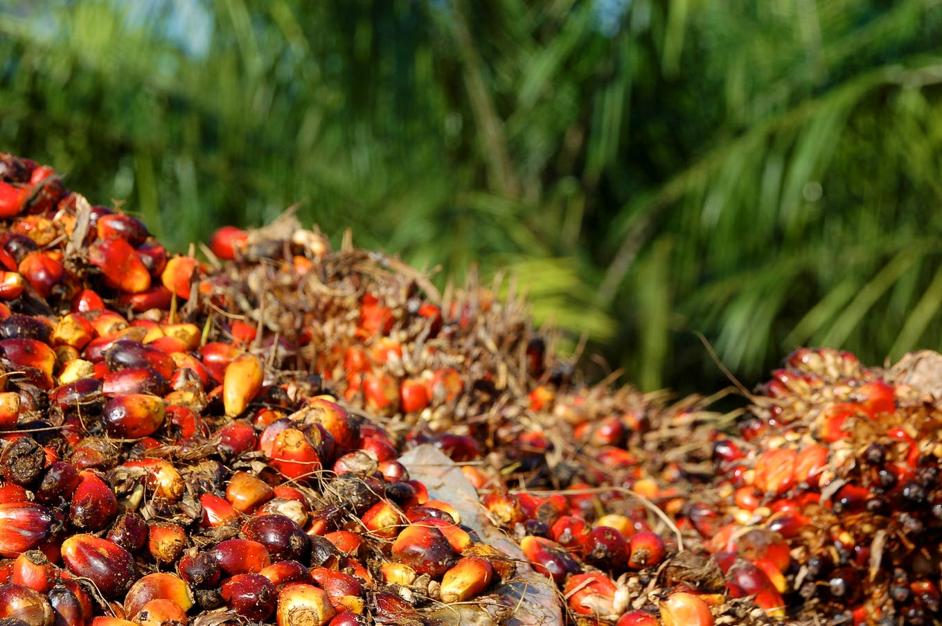 palm oil bunches fruit