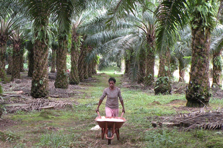 palm oil papua indonesia2