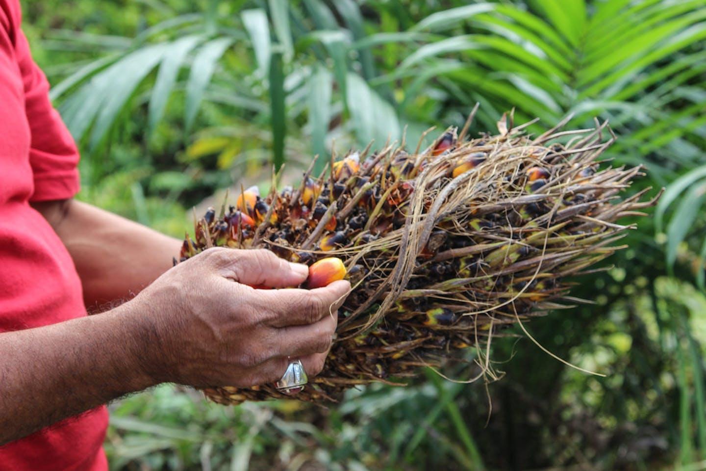 oil palm Riau, Indonesia