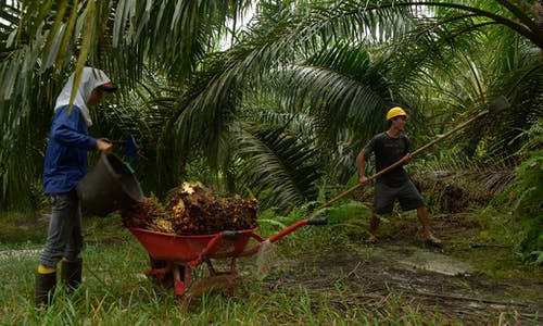 As palm oil for biofuel rises in Southeast Asia, tropical ecosystems shrink