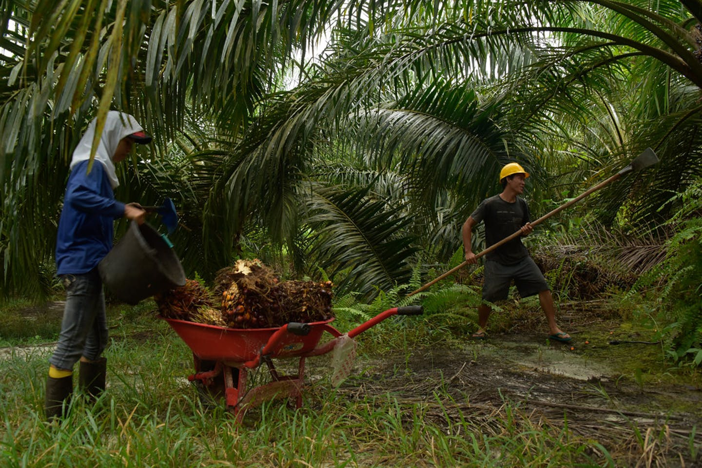 Workers in an oil palm plantation in Papua, Indonesia