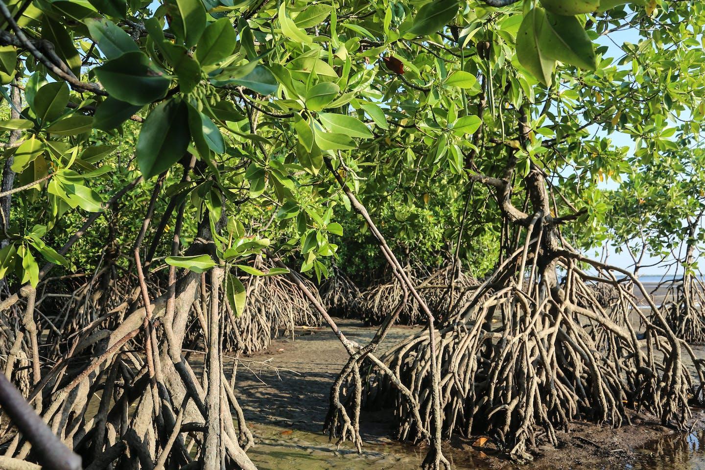 Indonesia mangroves Cifor