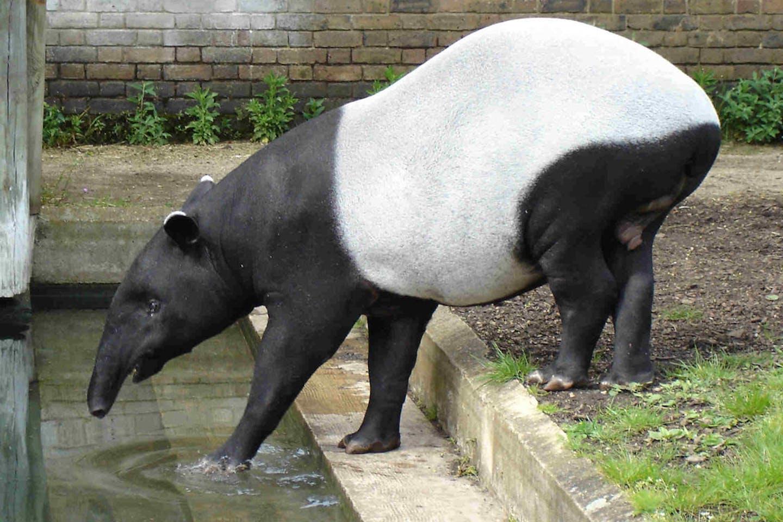 Malayan tapir,