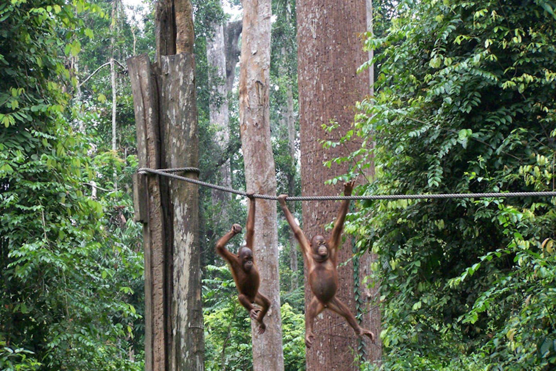 orangutan borneo3