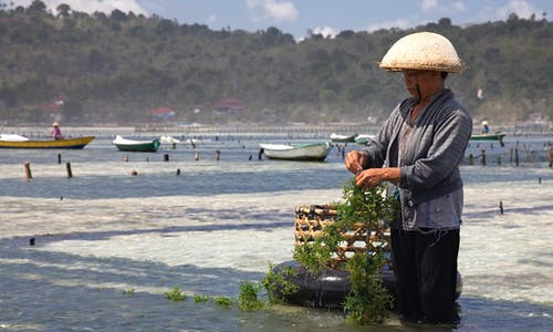 Seaweed over plastic: Indonesia's race towards sustainable packaging