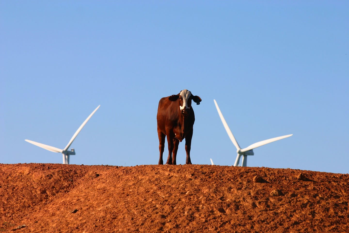Cow between two wind turbines