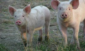 Food giants join global coalition to improve how farm animals are treated