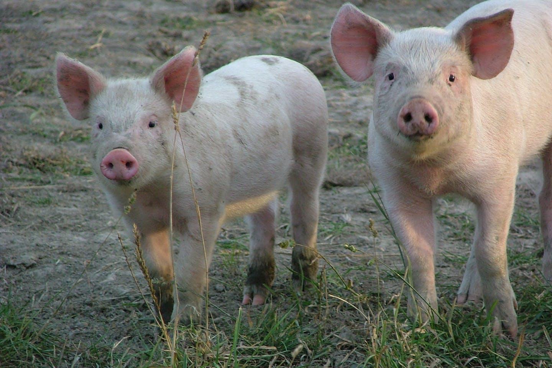piglets NZ