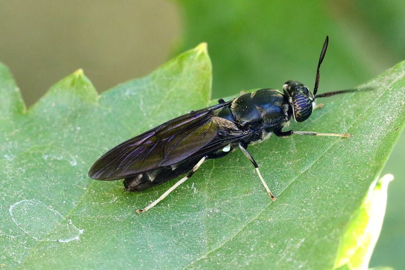 black soldier fly3