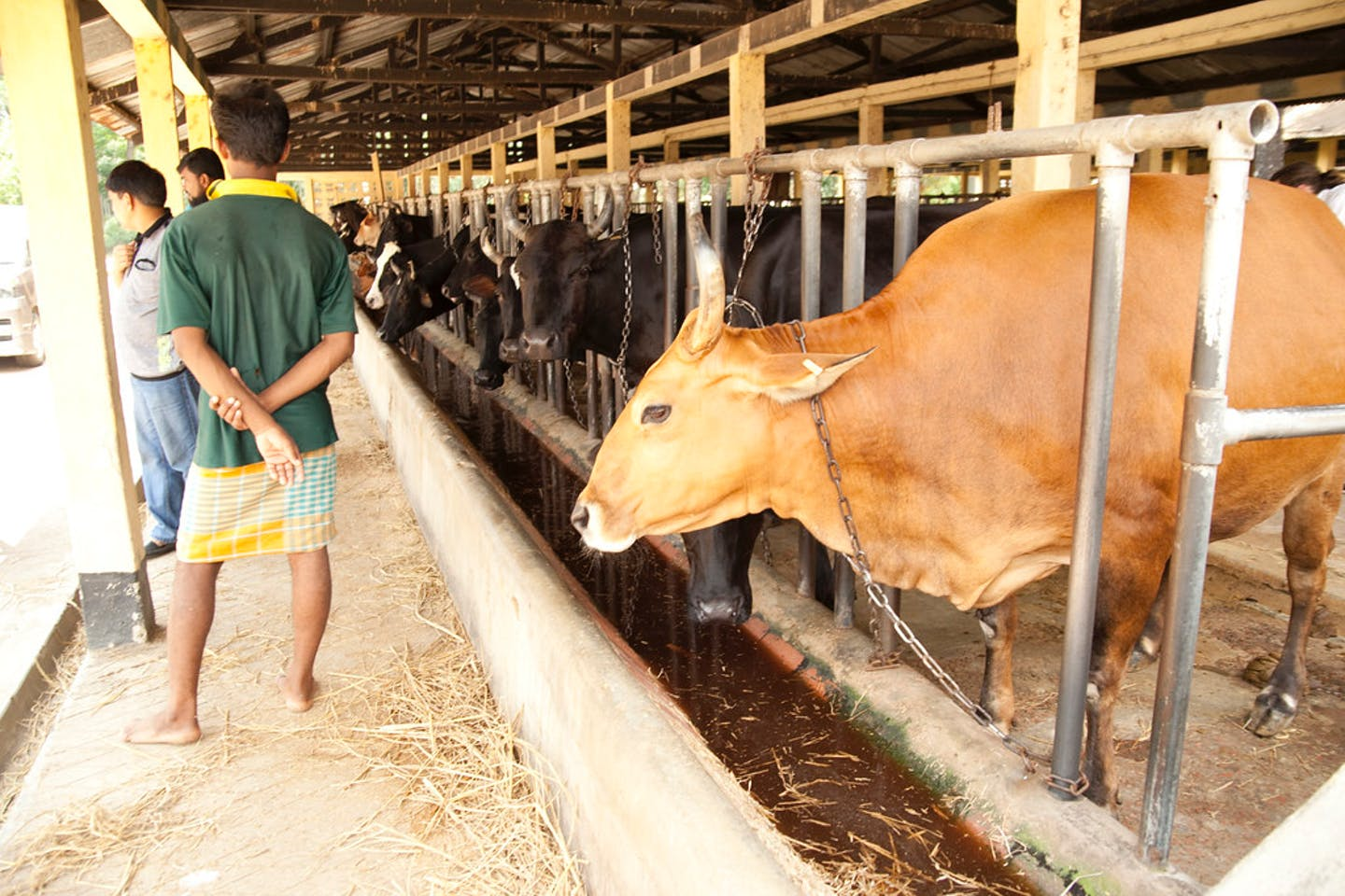 Cattle raised for beef in a barn in Bangladesh