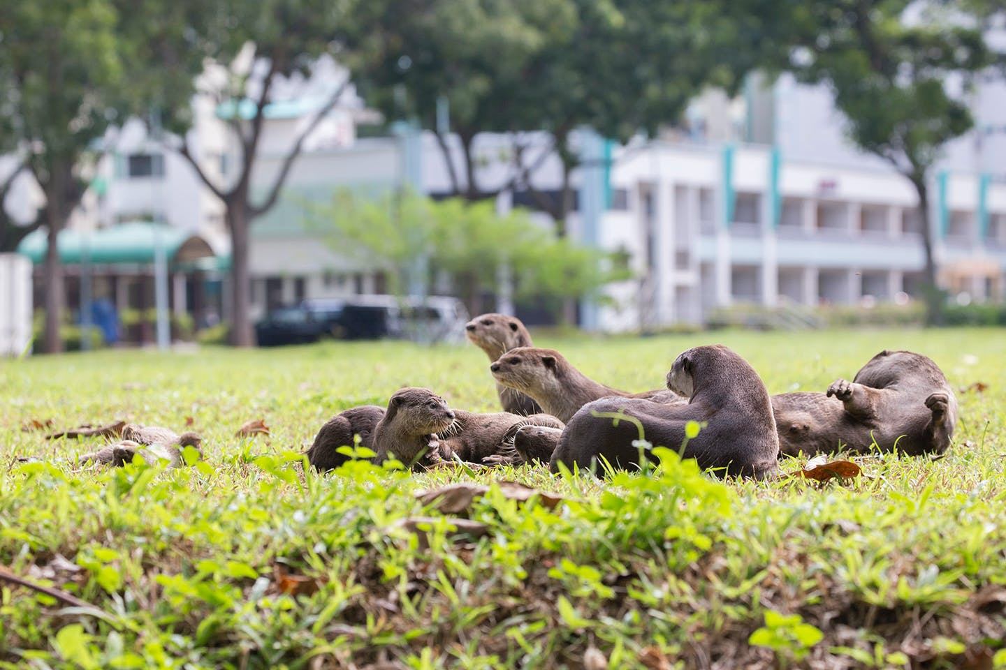 otters in singapore city