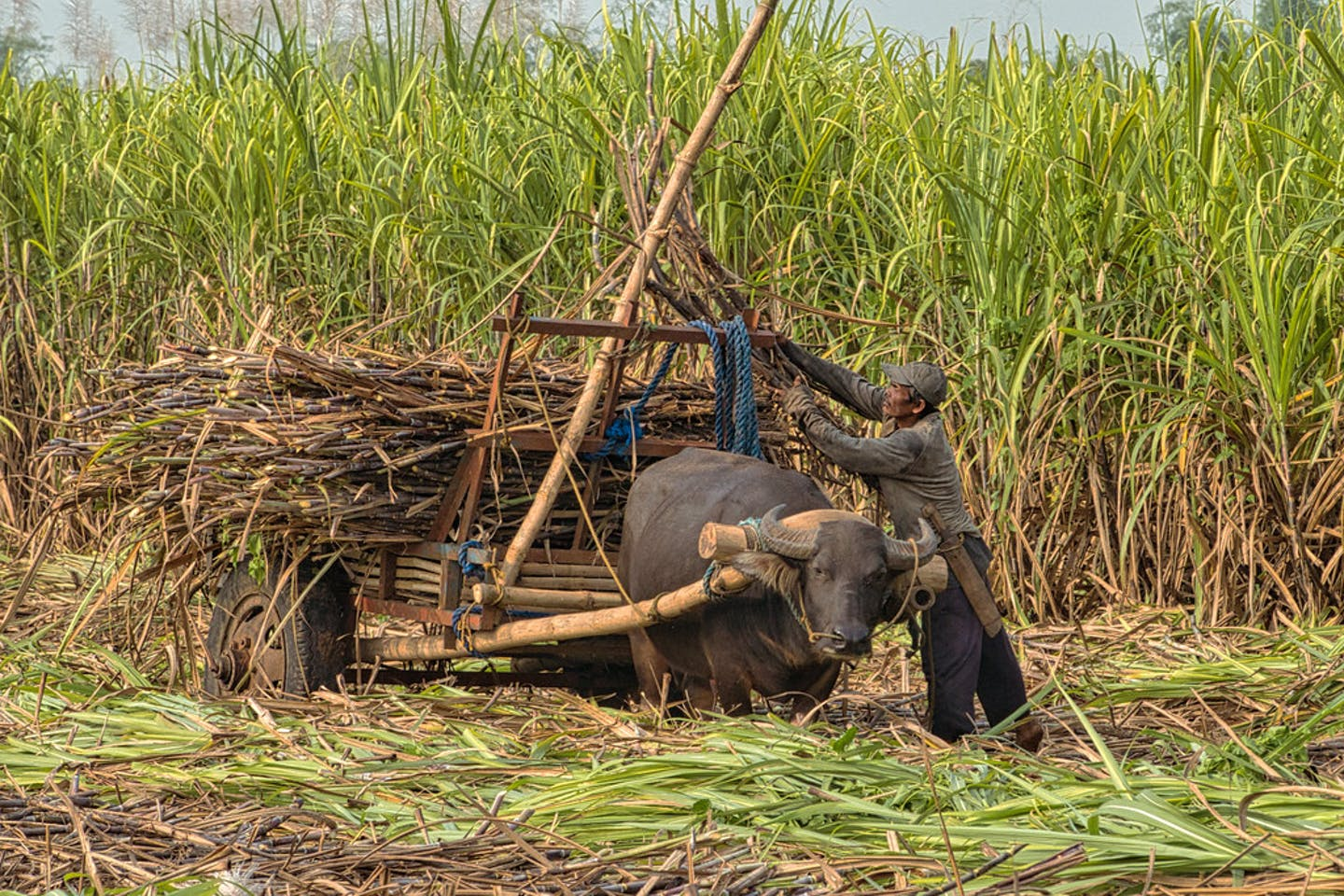 A sugarcane farmer in Talisay, Western Visayas in the Philippines.
