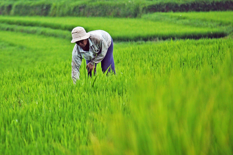 Farmer working on a rice field in Bali, Indonesia.