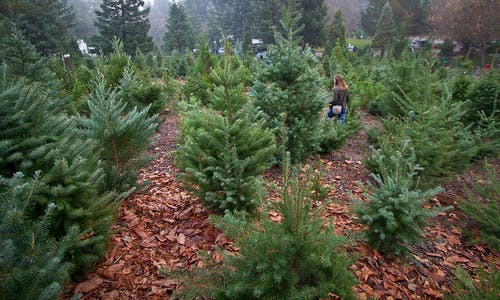 Christmas tree shopping is harder than ever, thanks to climate change and demographics