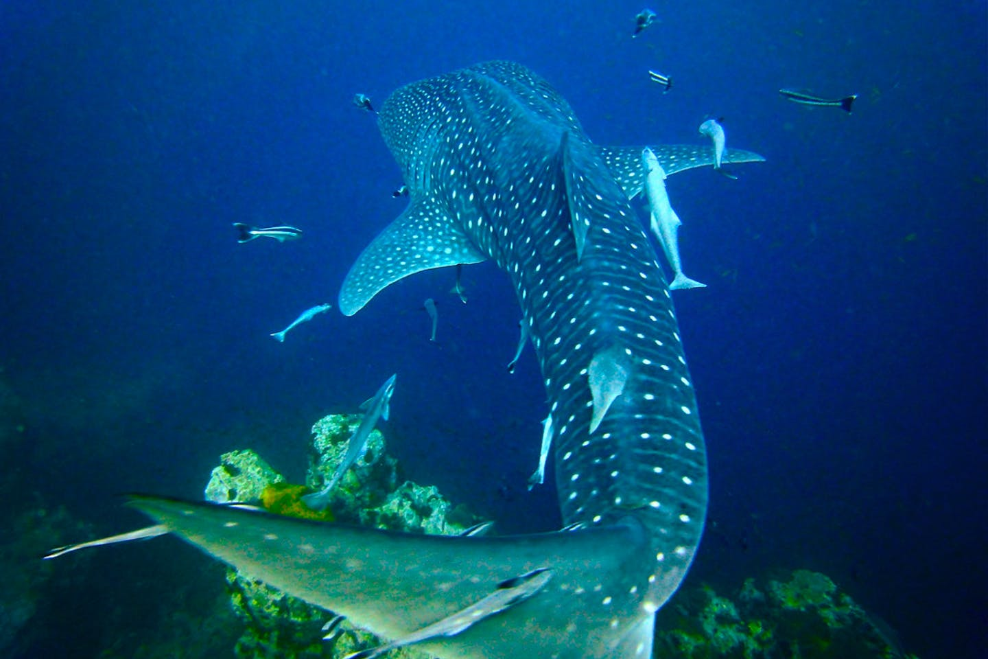 Whale shark in Surat Thani, Thailand