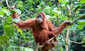 Dam that threatens orangutan habitat is 'wholly unnecessary', say conservationists
