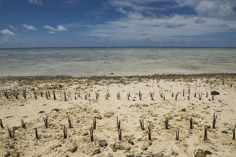 Kiribati mangroves